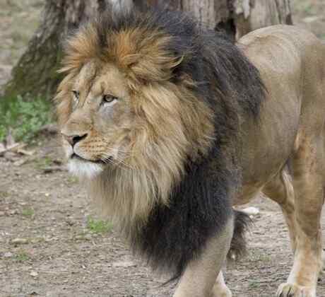 Uno de los leones del zoo de Washington contagiado de coronavirus