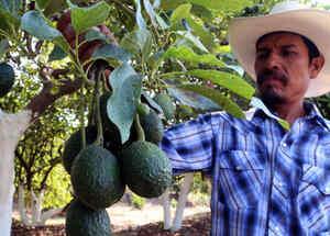 Agricultor en una plantación de aguacate en Puebla, México