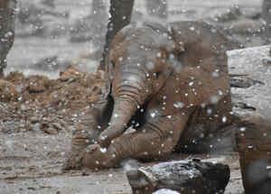 Elefantes disfrutan la nieve en zoológico de Tucson