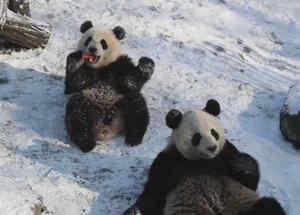 Pandas gemelos jugando en la nieve