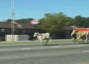 vacas corriendo