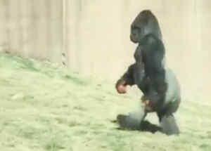 Un gorila camina como si fuera humano